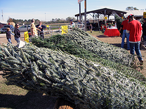 image of Christmas tree farm