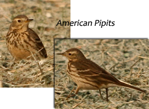 image of American Pipits