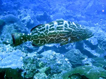rock hind grouper
