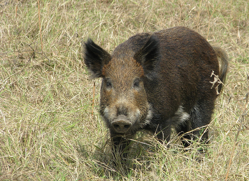 Feral-hog-the-usual-suspect-HR-800px.png