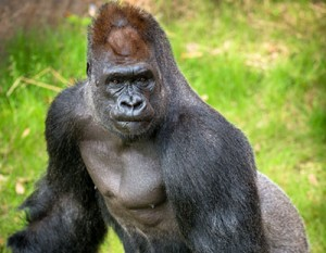 The Houston Zoo is informing visitors how recycling electronics like old laptops, tablets and gaming devices can help save declining gorilla populations.
