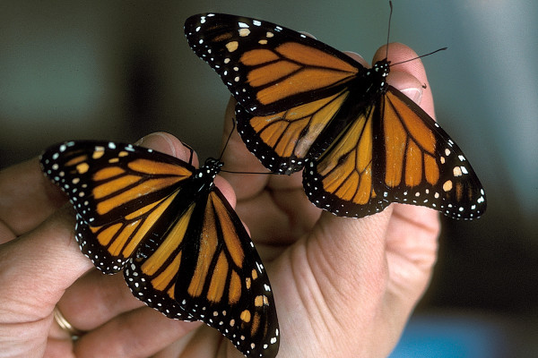photo of male and female monarch
