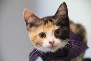 Calico kitten mugging for a close-up portrait at Houston's Bureau of Animal Regulation and Control