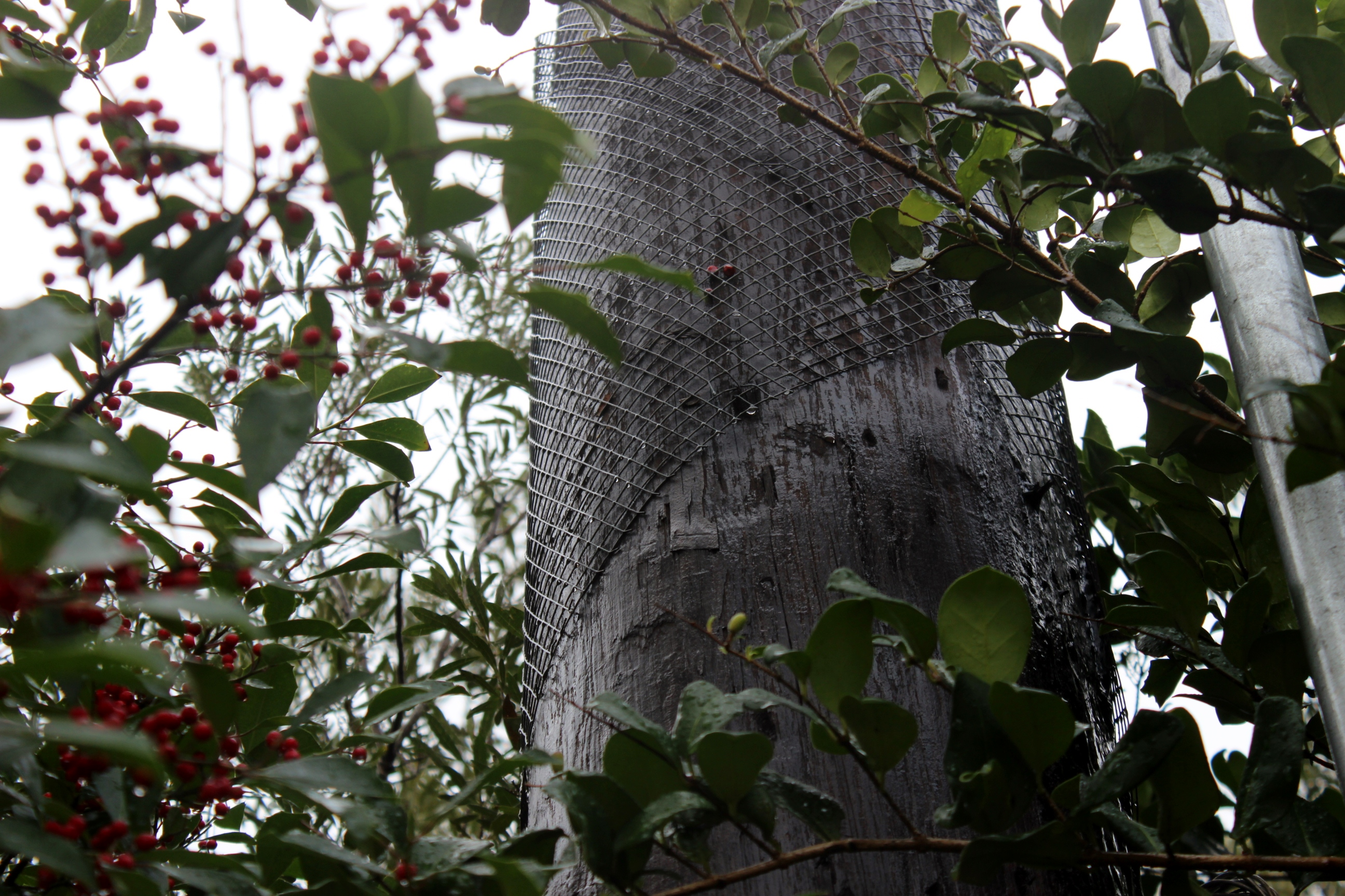 Wire mesh protects utility pole from woodpecker damage according to CenterPoint Energy