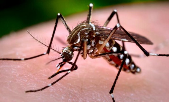 A female Aedes aegypti mosquito. Photo: CDC/Prof. Frank Hadley Collins.