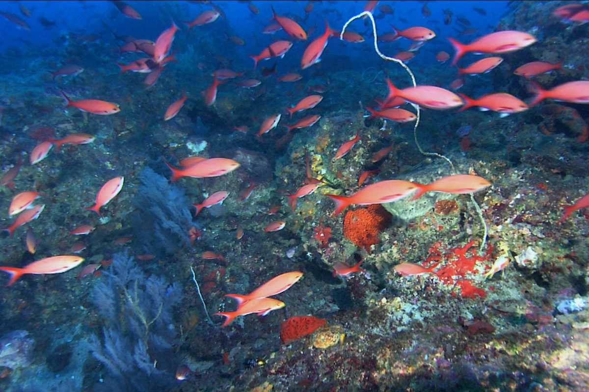 Creolefish schooling around black corals and gorgonians in deepwater habitat