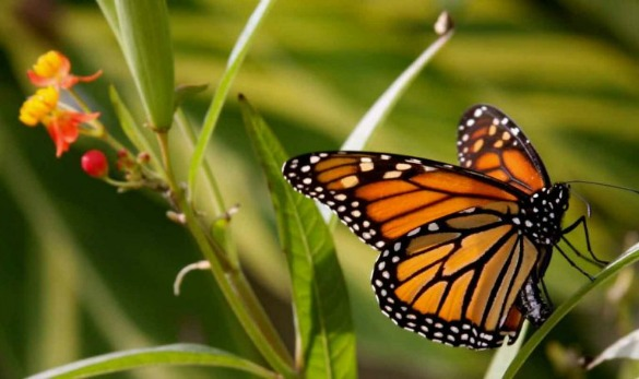 By some estimates, the migrating population of monarch butterflies has dropped by as much as 90 percent over the last two decades. (Image Courtesy of Texan by Nature)