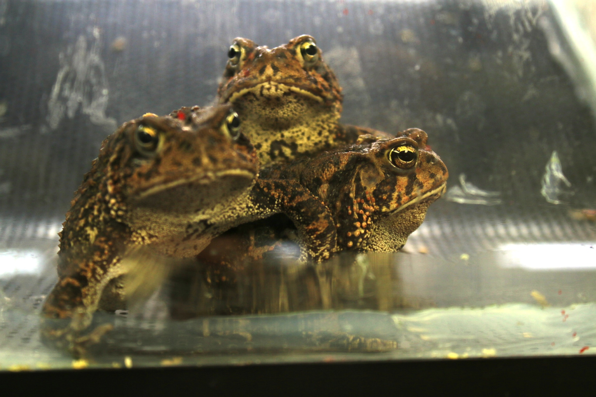 Houston toads in the Houston zoo breeding facility