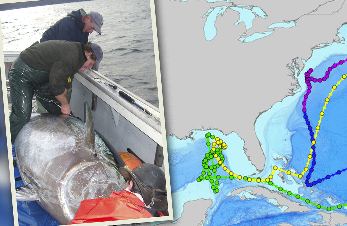 Bluefin Tuna - Gulf of Mexico - Courtesy NOAA and Stanford
