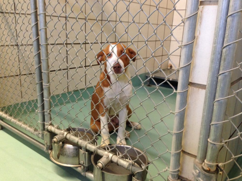 On average, the Pasadena Animal Shelter has been taking in more than 7,000 animals a year, mostly strays, since 2014, according to data provided by the shelter.
