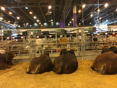 Cattle at rodeo
