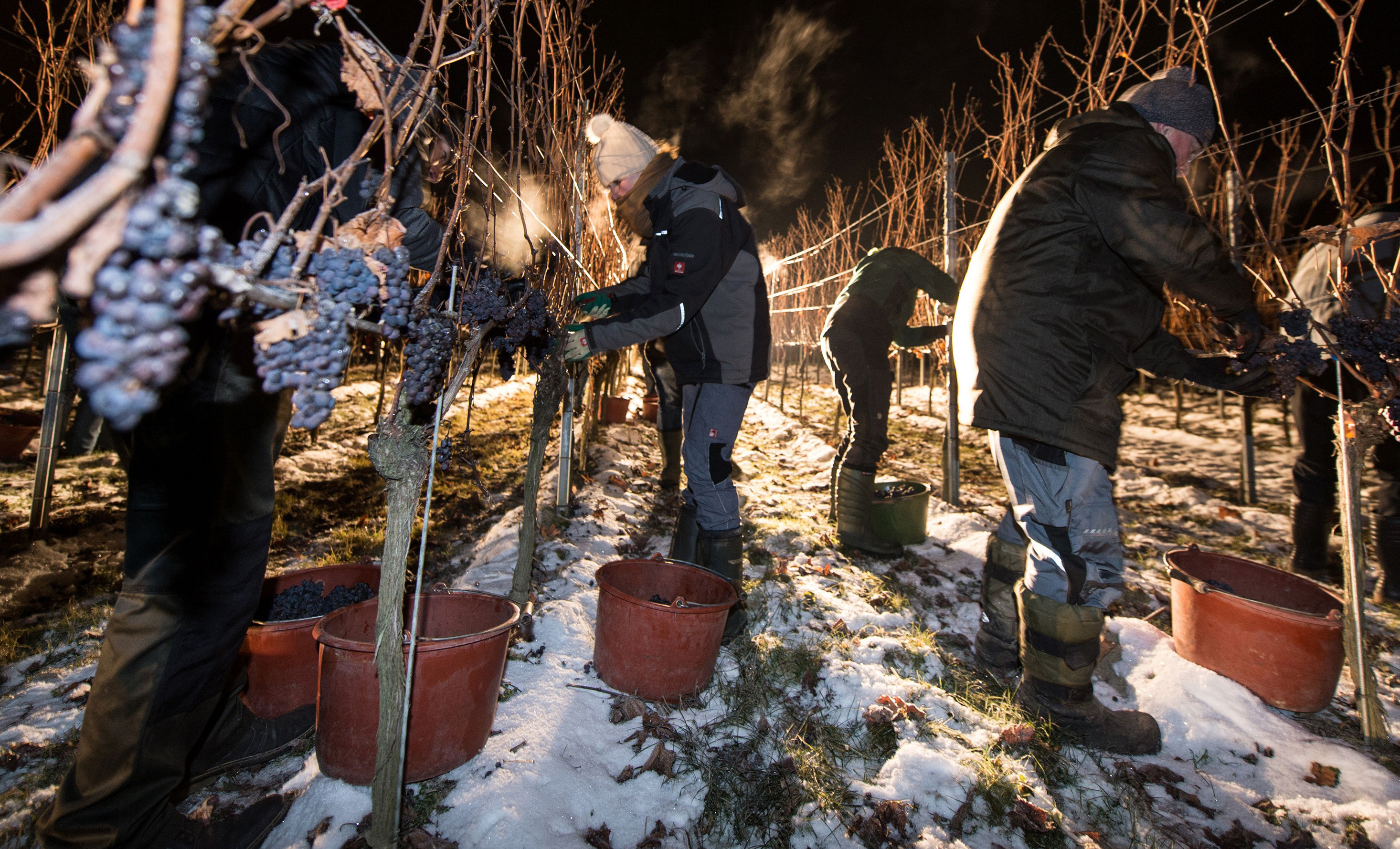 Making ice wine requires the grape to be picked and pressed at below-freezing temperatures, like in this vineyard in southern Germany. So, only a few places in the world — mainly Canada and Germany — produce it. But now, vineyards in frigid parts of the U.S., are making their own ice wine, giving Americans a chance to buy domestically produced bottles.