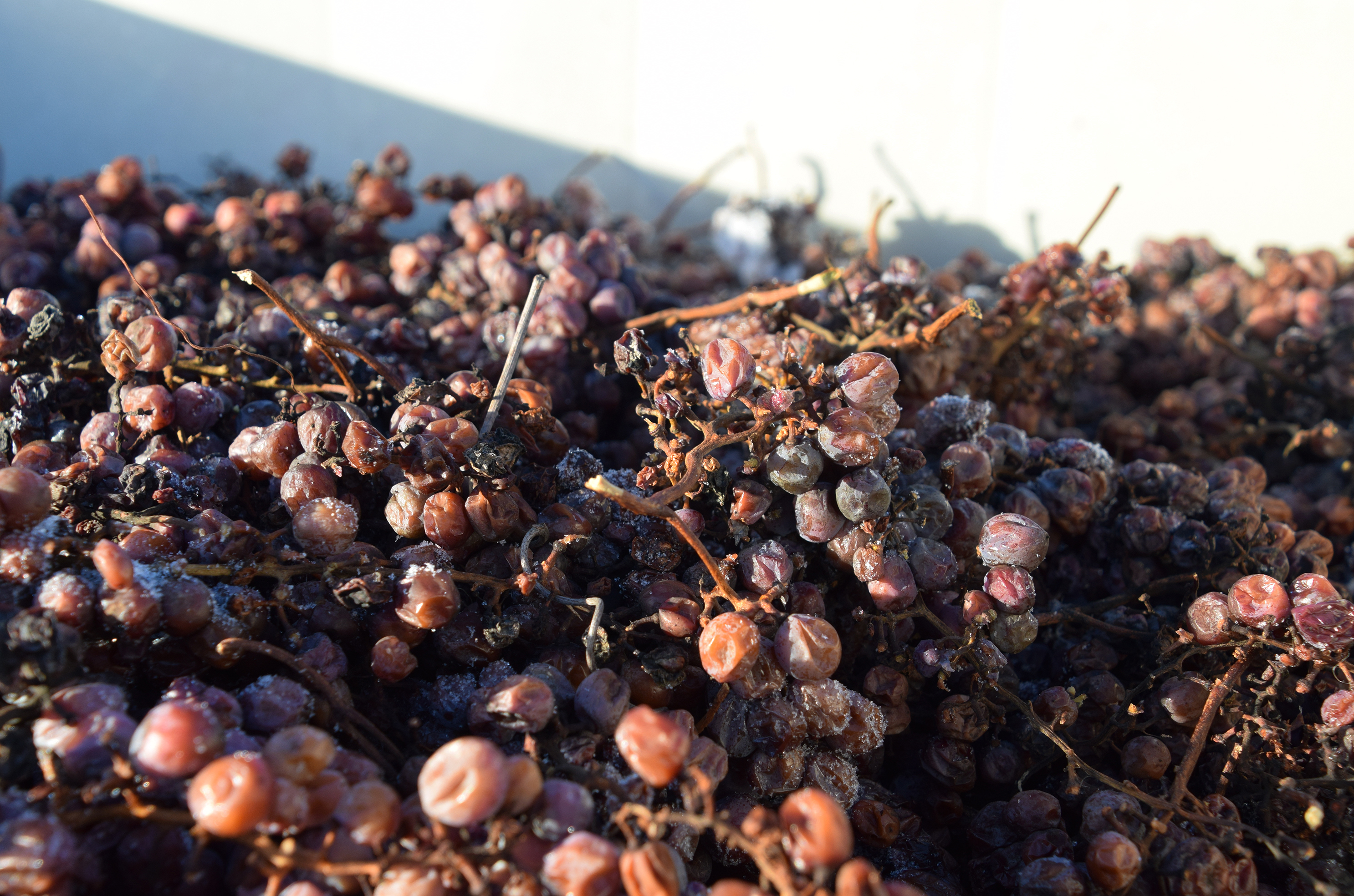 The frozen grapes are collected, then pressed outside while they're still frozen. It's risky waiting so long to harvest — a wind storm can destroy the whole crop. But the reward is 375 ml bottles that fetch $50 and up.