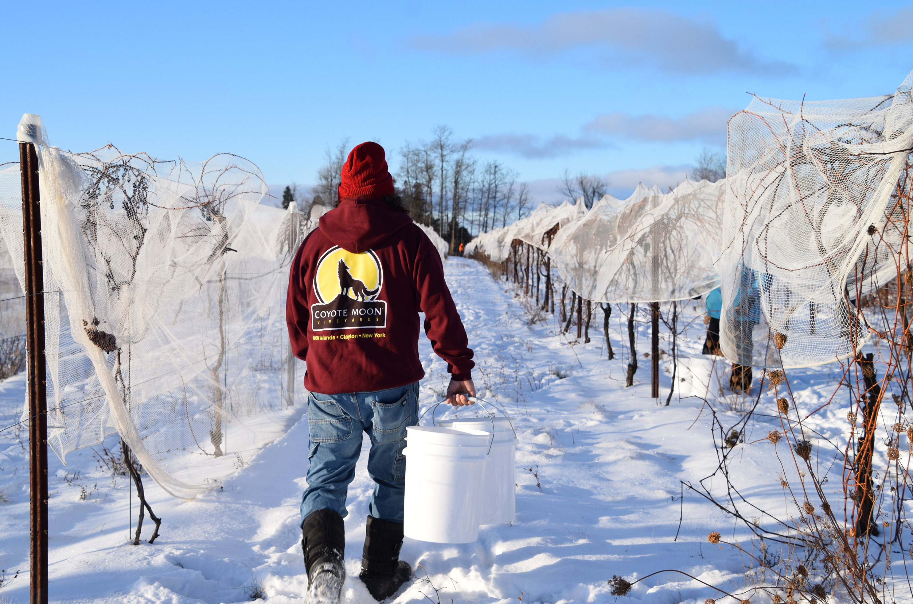 Robert Heyman, a Coyote Moon employee, returns to the vines to fill his bucket with frozen grapes. The vineyard grows two cold climate varietals for ice wine: frontenac (red) and frontenac gris (white).