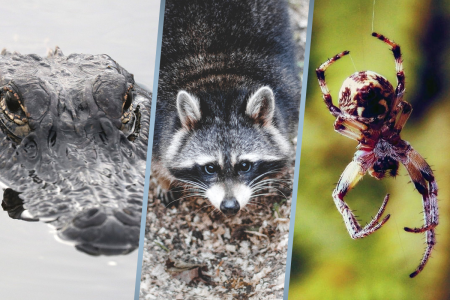 Alligator Raccoon and Spider