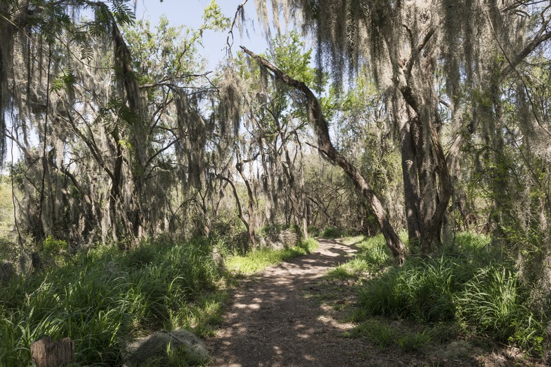 Trees draped with Spanish moss within the Santa Ana National Wildlife Refuge, on the Rio Grande River border with Mexico in Hidalgo County, Texas.
