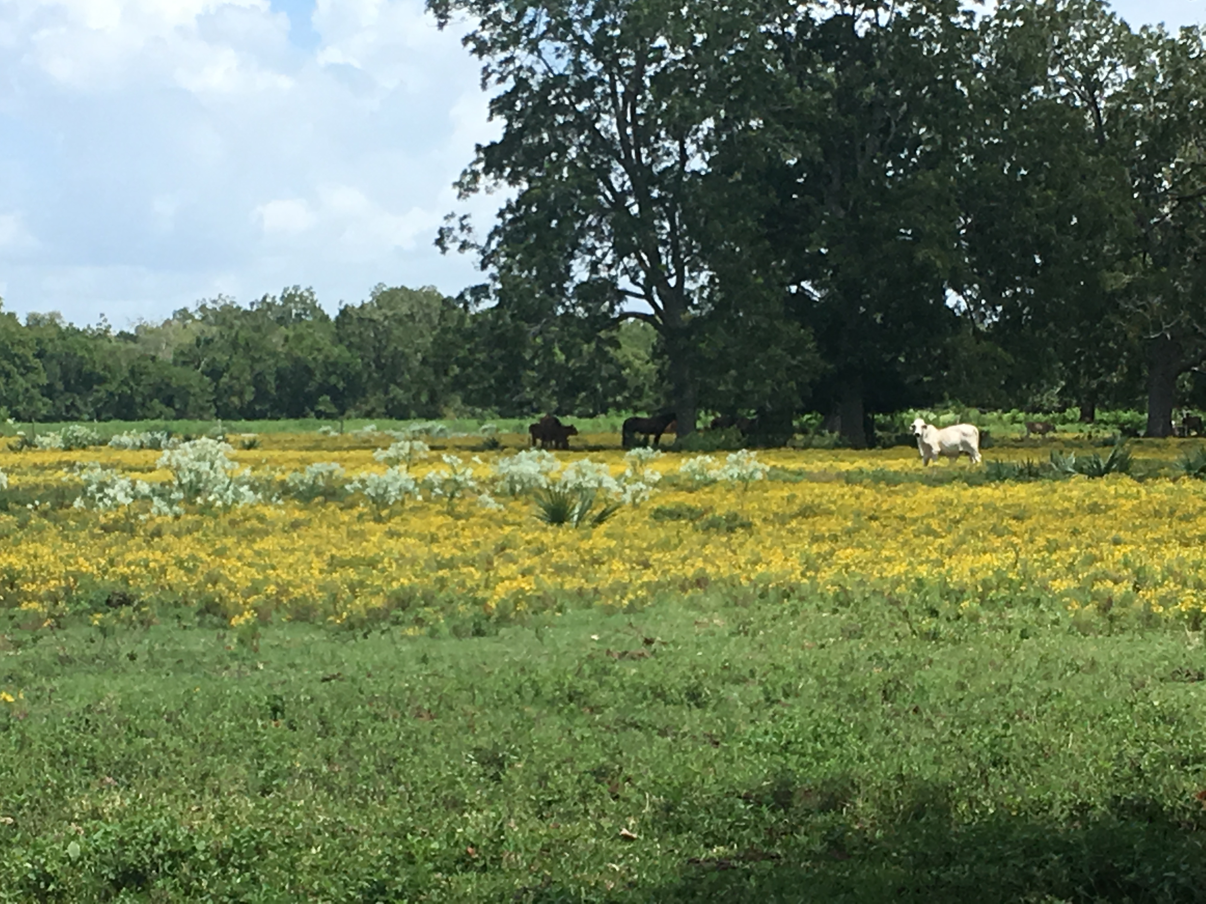 Cattle stand in a Brazoria County pasture surrounded by Snow on the Mountain and other weeds.