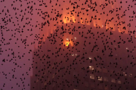 Downtown Grackles