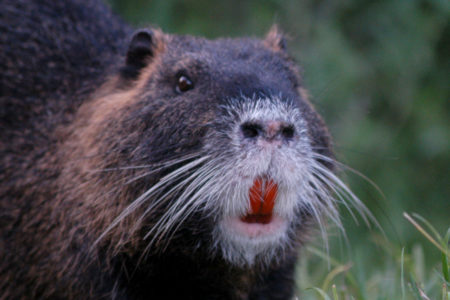 Nutria Closeup - Wikipedia