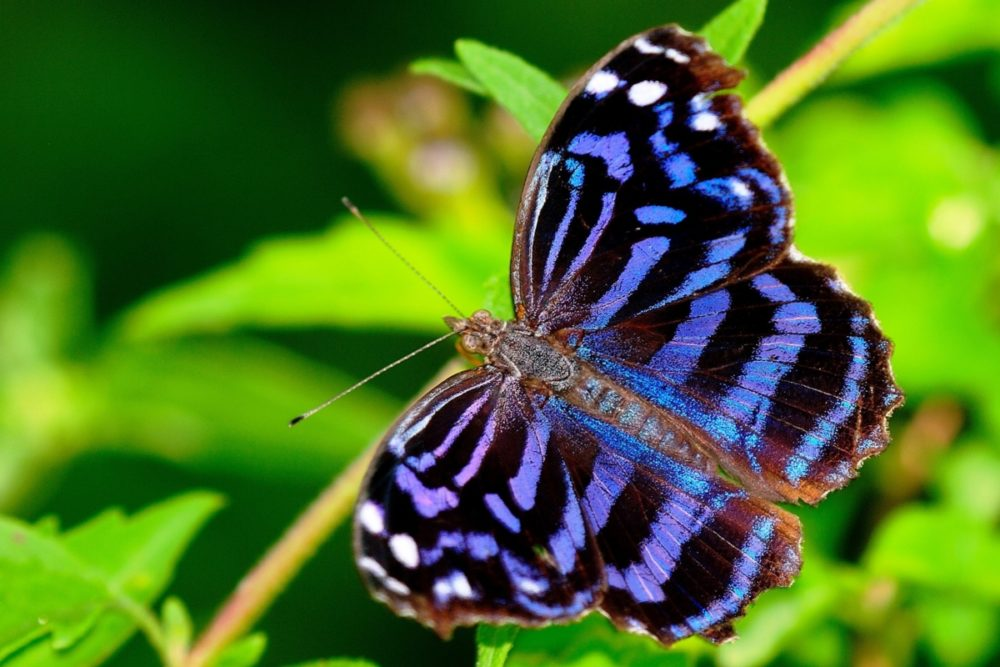 Mexican Bluewing Butterfly - Wikipedia