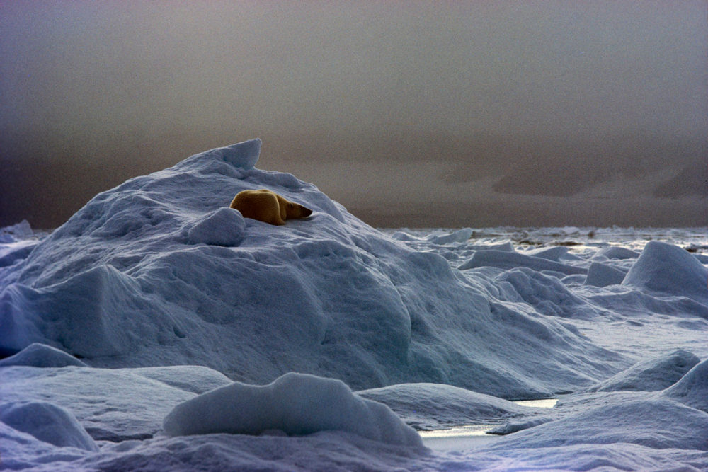 Polar Bear by Photographer Fred Baldwin
