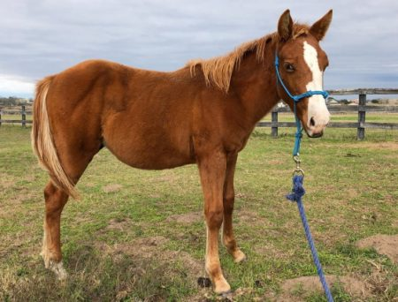 Adoptable Horse - Houston SPCA
